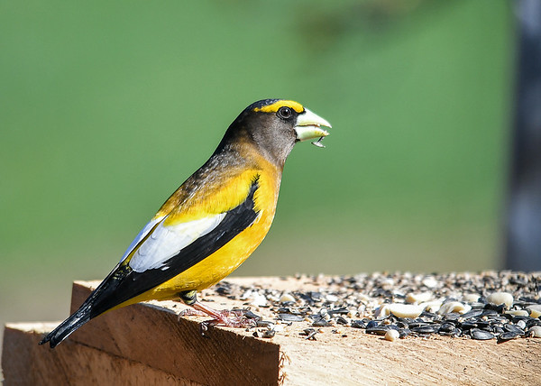 "<div class=""jaDesc""> <h4>Male Evening Grosbeak Cracking Open Seed - April 23, 2019</h4> <p></p></div>"