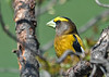 "<div class=""jaDesc""> <h4>Male Evening Grosbeak in Morning Sun - April 23, 2019</h4> <p></p></div>"