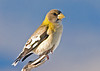 "<div class=""jaDesc""> <h4>Female Evening Grosbeak in Morning Sun - February 17, 2008 </h4> <p> With the cold weather continuing, the Evening Grosbeaks are still staying south.  I managed to get this female posing in the morning sun again.</p> </div>"