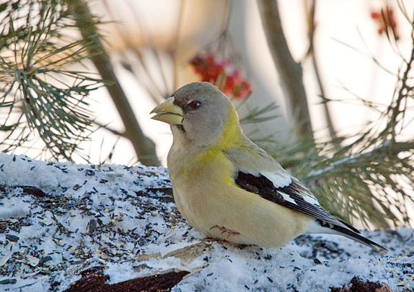 """<div class=""""jaDesc""""> <h4>Female Evening Grosbeak Warming Claw - January 21, 2008 </h4> <p>A group of 8 evening grosbeaks were in yesterday morning.  It was 10 degrees and the wind chill was below zero. This female was holding her claw up to her breast feathers periodically to warm it as she ate sunflower seeds.</p> </div>"""
