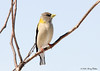 """<div class=""""jaDesc""""> <h4>Female Evening Grosbeak in Locust Tree - March 29, 2008 </h4> <p>The Evening Grosbeaks usually land in the top of our locust tree before coming to the feeders.  So I decided to open an upstairs bedroom window right next to the treetop and see if they would still stop there.  I like being able to capture them at eye level.</p> </div>"""