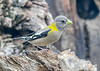 """<div class=""""jaDesc""""> <h4>Female Evening Grosbeak Looking for Seed - April 23, 2019</h4> <p>They have tan beaks, but for some reason they were picking up a green tint in the morning sun.  Probably a refection off the bright green grass.</p></div>"""