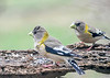 "<div class=""jaDesc""> <h4>Female Evening Grosbeaks - April 23, 2019</h4> <p></p></div>"