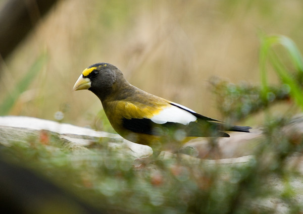 """<div class=""""jaDesc""""> <h4>Evening Grosbeak Surprise - November 4, 2007 </h4> <p>Yesterday while I was eating my lunch, a group of 8 Evening Grosbeaks arrrived all at once and crowded into one of our small covered feeder platforms.  They were too close to the house to get any shots, and I was not at all prepared.  One of them flew to the water garden while I got my camera and I was able to squeeze off a few shots before they all disappeared. </p> </div>"""