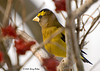 "<div class=""jaDesc""> <h4>Male Evening Grosbeak Hiding - March 13, 2008 </h4> <p> A male Evening Grosbeak was hiding among the cranberry bush branches.  I was just barely able to get him in focus.</p> </div>"