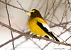 """<div class=""""jaDesc""""> <h4>Male Evening Grosbeak in Crabapple Tree - March 2, 2008 </h4> <p> Here is one of the 10 male Evening Grosbeaks that have been visiting us lately.  They are getting more comfortable hanging around our yard.  This guy perched in one of the crabapple trees for the first time yesterday.</p> </div>"""