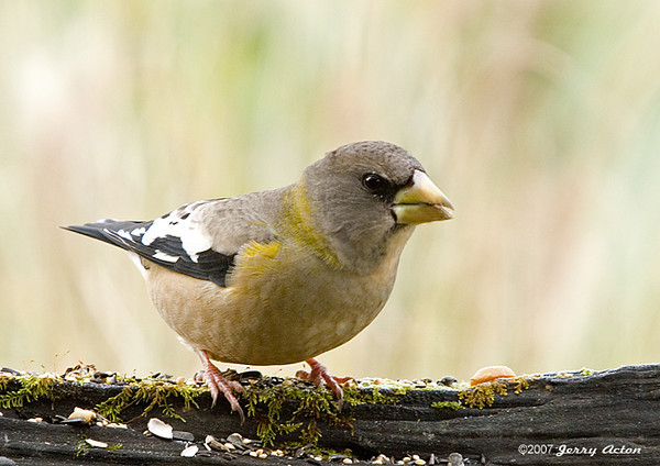 """<div class=""""jaDesc""""> <h4>Female Evening Grosbeak - November 8, 2007 </h4> <p>When the Evening Grosbeak group visited the other day, there were no females, but this morning there were 3 males and 3 females.  The females were definitely dominant over the males.</p> </div>"""