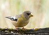"<div class=""jaDesc""> <h4>Female Evening Grosbeak - November 8, 2007 </h4> <p>When the Evening Grosbeak group visited the other day, there were no females, but this morning there were 3 males and 3 females.  The females were definitely dominant over the males.</p> </div>"