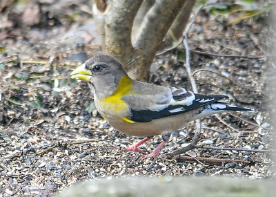 "<div class=""jaDesc""> <h4>Female Evening Grosbeak Under Bush - March 17, 2019</h4> <p>Three female Evening Grosbeaks visited for about 20 minutes, a nice surprise.  The ground was littered with black-oil sunflower seeds that I toss under the bushes where it is safer to ground feed.</p> </div>"