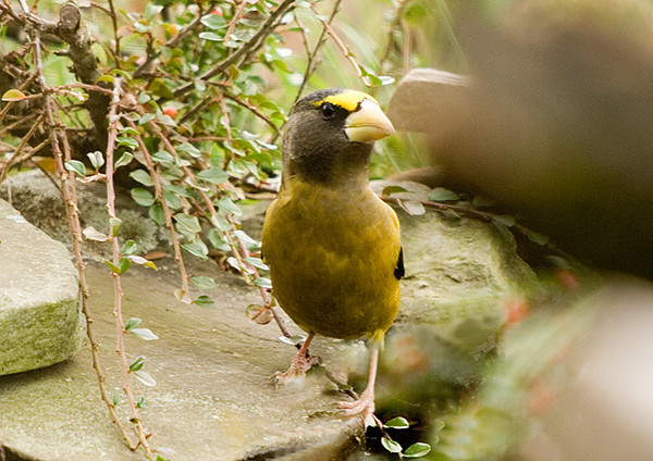 """<div class=""""jaDesc""""> <h4>Evening Grosbeak by Water Garden - November 4, 2007 </h4> <p>This Evening Grosbeak flew over to the water garden waterfall unit to get a drink.  It drank quite a bit of water.  I think the sound of the water garden may have attracted them to the yard.</p> </div>"""