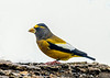 """<div class=""""jaDesc""""> <h4>Male Evening Grosbeak at Feeder Log - Dec 12, 2018</h4> <p>Two male Evening Grosbeaks stopped by for 5 minutes for a quick snack.   I am hoping we get some more that decide to stay for awhile.</p> </div>"""