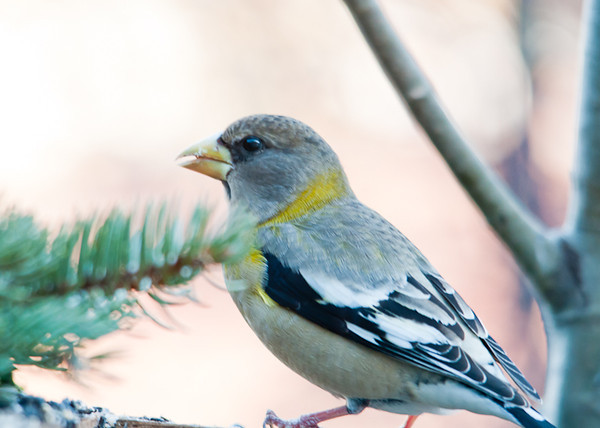 """<div class=""""jaDesc""""> <h4>Female Evening Grosbeak Stops for Breakfast - March 13, 2013 </h4> <p>Four female Evening Grosbeaks along with one male stopped for a quick snack this morning.  This is their first visit since December.</p> </div>"""