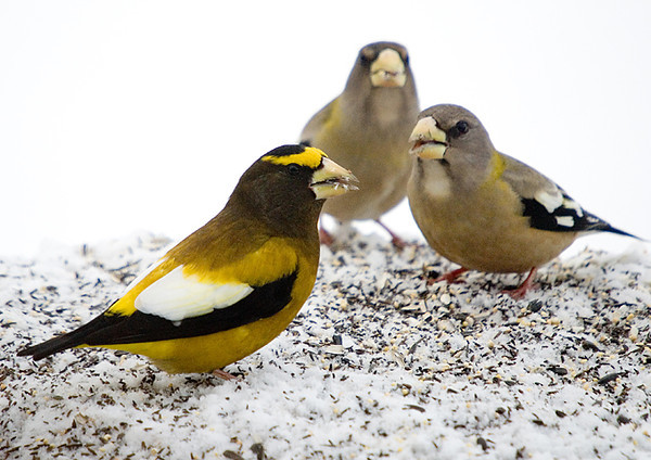 "<div class=""jaDesc""> <h4>Male Evening Grosbeak with Females - January 4, 2008 </h4> <p>The male Evening Grosbeak does hang out with the females sometimes.  This particular morning he was together with several females the whole time they were visiting.</p> </div>"