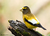 "<div class=""jaDesc""> <h4>Another Surprise Grosbeak Visit - November 8, 2007 </h4> <p>Got another surprise visit this morning. 3 pair of these beauties showed up suddenly and took over the feeder area for about 5 minutes.  Even the Blue Jays kept their distance while the Evening Grosbeaks were feeding.</p> </div>"