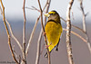 """<div class=""""jaDesc""""> <h4>Male Evening Grosbeak in Locust Tree - March 29, 2008 </h4> <p>I don't know how long these beauties are going to be around before heading north, so I'm getting all the shots I can while they are still here.</p> </div>"""