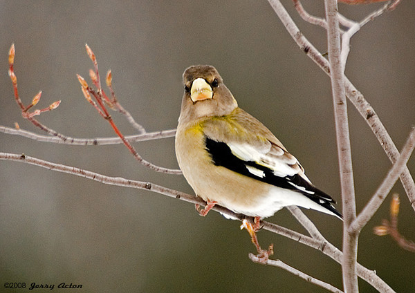 """<div class=""""jaDesc""""> <h4>Female Grosbeak Staring - January 4, 2008 </h4> <p>Here is one of the 7 female Evening Grosbeaks visiting our yard regularly now.  She was staring right at me as I took this shot, but was tame enough not to fly off.  This front view really shows the large beak.</p> </div>"""