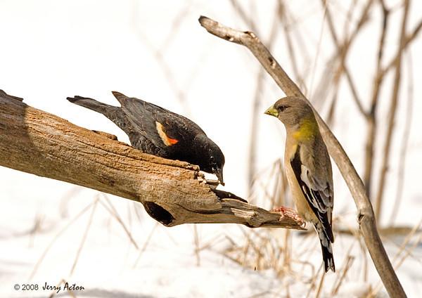"<div class=""jaDesc""> <h4>Female Evening Grosbeak Warning Blackbird - March 30, 2008 </h4> <p>The female Evening Grosbeak on this feeder limb was sitting straight up warning the Red-winged Blackbird to stop approaching.</p> </div>"