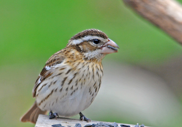 """<div class=""""jaDesc""""> <h4> Female Rose-breasted Grosbeak with Seed - May 1, 2015 </h4> <p>It is very unusual that the female Rose-breasted Grosbeak shows up before the male.  We saw the female about 2 hours before the male appeared.</p> </div>"""