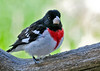 "<div class=""jaDesc""> <h4> Male Rose-breasted Grosbeak  - May 4, 2014 - Video Attached</h4> <p> It is soooo nice to see the Grosbeaks back; a month later this year than normal.  They are smart enough to wait for warmer weather.  But today it was blowing 35 MPH as he ate the sunflower seeds.  That is why there is no audio in the video. </p>  </div> <center> <a href=""http://www.youtube.com/watch?v=dInLBbXLHr4""  style=""color: #0AC216"" class=""lightbox""><strong> Play Video</strong></a>"