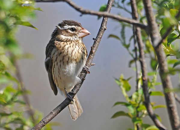 """<div class=""""jaDesc""""> <h4> Female Rose-breasted Grosbeak in Cherry Tree - May 11, 2014 </h4> <p> This female Rose-breasted Grosbeak is with the male every time they visit the feeders.  She is definitely the boss; the male always yields to her for whatever seed she wants.</p> </div>"""