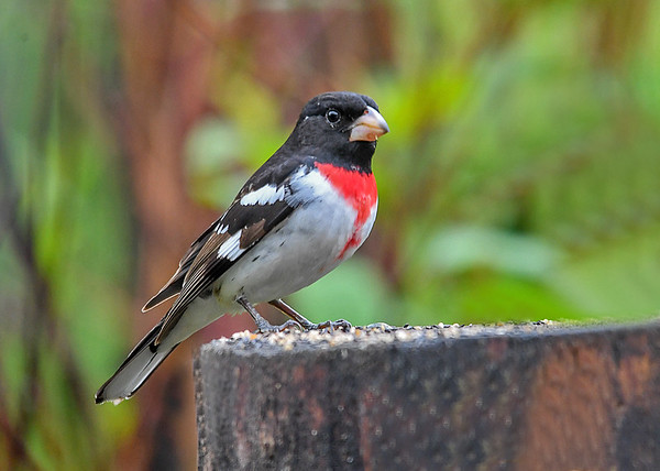 """<div class=""""jaDesc""""> <h4>Male Rose-Breasted Grosbeak on Stump - May 18 2018</h4> <p>Our male Rose-breasted Grosbeak is looking pretty dapper in this pose.</p> </div>"""