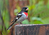 "<div class=""jaDesc""> <h4>Male Rose-Breasted Grosbeak on Stump - May 18 2018</h4> <p>Our male Rose-breasted Grosbeak is looking pretty dapper in this pose.</p> </div>"