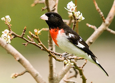 """<div class=""""jaDesc""""> <h4> Male Rose-breasted Grosbeak in Blooming Pear Tree - May 10, 2007 </h4> <p> This male Rose-breasted Grosbeak arrived in April before the fruit trees were in bloom.   Here he has stopped in our blooming pear tree on his way into the feeders.</p> </div>"""