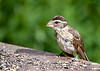 """<div class=""""jaDesc""""> <h4> Mother Grosbeak Dining - July 7, 2016</h4> <p>I had not seen the Grosbeaks for almost a month. They were off tending to their nest. Now the adult female is coming into the feeder area with a young female.</p> </div>"""