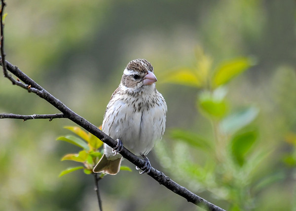 "<div class=""jaDesc""> <h4>Female Rose-Breasted Grosbeak in Cherry Tree - May 11 2018</h4> <p>We have 2 females.  This one is an adult.  I think the second female is one of last year's offspring and one of the family of four that is back this year.</p> </div>"