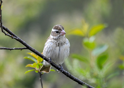 Female Rose-Breasted Grosbeak in Cherry Tree - May 11 2018 We have 2 females.  This one is an adult.  I think the second female is one of last year's offspring and one of the family of four that is back this year.