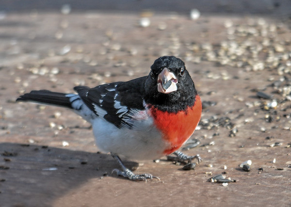 "<div class=""jaDesc""> <h4>Rose-breasted Grosbeaks Arrive - Appril 28, 2016 </h4> <p>I was delighted to see a Rose-breasted Grosbeak pair arrive this morning. They seem to have settled in, were around all day long munching on sunflower seeds.</p> </div>"