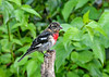 "<div class=""jaDesc""> <h4>Juvenile Male Rose-Breasted Grosbeak on Perch - August 24 2018</h4> <p>He took a break from eating and moved up to a perch overlooking the feeder area.</p> </div>"