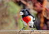 "<div class=""jaDesc""> <h4>Male Rose-Breasted Grosbeak Eating Seed - May 1 2018</h4> <p>What a wonderful way to start my day.  This handsome fella showed up at one of our feeders.</p> </div>"