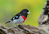 "<div class=""jaDesc""> <h4>Male Rose-Breasted Grosbeak Looking at Seeds - May 11, 2019</h4> <p>He is ready to chow down on black-oiled sunflower seeds.</p></div>"