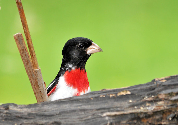 """<div class=""""jaDesc""""> <h4> Male Rose-breasted Grosbeak Inbound to Feeder - June 5, 2010 </h4> <p>This male Rose-breasted Grosbeak would pop his head up above the log between bites of sunflower seed.  We have 3 males visiting regularly.</p> </div>"""