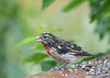 """<div class=""""jaDesc""""> <h4> Immature Male Grosbeak - July 30, 2016</h4> <p>The Rose-breasted Grosbeaks usually have one male and one female off-spring each year.  The immature male finally made an appearance.  He successfully fended off a Blue Jay that was harassing him as he munched on black-oiled sunflower seeds.</p> </div>"""