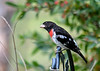 "<div class=""jaDesc""> <h4> Dad Grosbeak Watching Carefully - July 7, 2016</h4> <p>The male Rose-breasted Grosbeak is constantly looking up when he is in the feeder area.  He never knows when a hawk might swoop in from above.  He is a very bright target.</p> </div>"