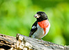 """<div class=""""jaDesc""""> <h4> Male Rose-breasted Grosbeak - July 4, 2008 </h4> <p> This adult male Rose-breasted Grosbeak successfully disciplined a 1st year male Grosbeak who was trying to grab prime feeder space.  He is one of two adult males who are regular visitors with their mates.  Today I saw a juvenile female Grosbeak hopping around on the ground.</p> </div>"""