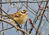"<div class=""jaDesc""> <h4> Female Rose-breasted Grosbeak in Budding Crabapple - May 3, 2014 </h4> <p> This female Rose-breasted Grosbeak showed up before a male did.  This is the first time that has ever happened.</p> </div>"
