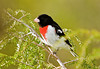 "<div class=""jaDesc""> <h4> Male Rose-breasted Grosbeak in Hemlock Tree - May 9, 2008 </h4> <p> We now have 2 pair of Red-breasted Grosbeaks visiting our backyard regularly. They visit the feeders together - sometimes 2 males, or a male &amp; female, or 2 females. I managed to catch this male in our hemlock tree.</p> </div>"
