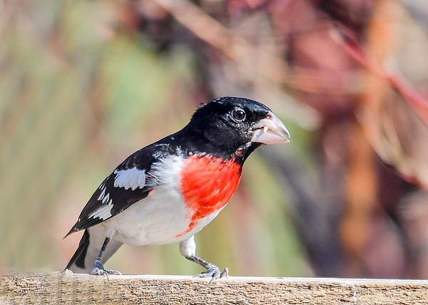 """<div class=""""jaDesc""""> <h4>Rose-Breasted Grosbeak Finishing Seed - May 1 2018</h4> <p>He can easily shell and eat a sunflower seed in about 15 seconds with his heavy beak.</p> </div>"""