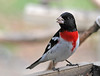 "<div class=""jaDesc""> <h4> Male Rose-breasted Grosbeak at Feeder - May 1, 2015 </h4> <p>It is rare that I get photos of birds the first day they arrive, but the Rose-breasted Grosbeaks both presented me with nice opportunities day one.</p> </div>"