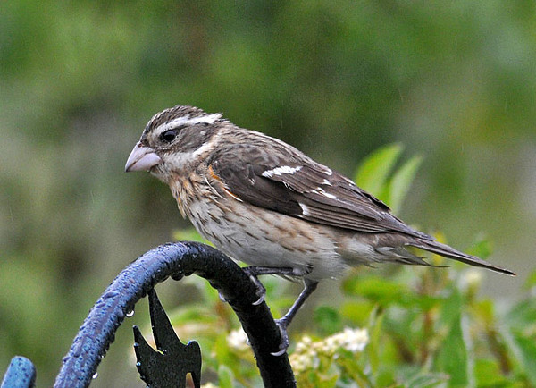 """<div class=""""jaDesc""""> <h4> Female Rose-breasted Grosbeak - 1st of Year - May 12, 2010 </h4> <p> It was great to see out 1st female Grosbeak of the year this morning.  With 2 males here already, she will be getting plenty of attention.</p> </div>"""