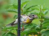 "<div class=""jaDesc""> <h4> Juvenile Rose-breasted Grosbeak Last Visit - August 14, 2010 </h4> <p>This was the last visit by one of our Rose-breasted Grosbeak family members two weeks ago.  We had two mating pairs this year and 4 juveniles, all of whom came to our feeders regularly - what a thrilling summer it has been!  I am missing them.</p> </div>"