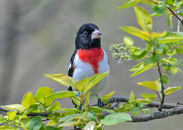 "<div class=""jaDesc""> <h4>Male Rose-Breasted Grosbeak in Cherry Tree - May 11, 2019</h4> <p>This gorgeous male finally gave me some photo opportunities.  He has paired up with the female that arrived 10 days ago.</p></div>"