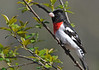 "<div class=""jaDesc""> <h4> Male Rose-breasted Grosbeak in Cherry Tree - May 11, 2014 </h4> <p> Both Grosbeaks have gotten very tame.  They have figured out that I am the seed provider.  I can get within 10 feet of them now without them flying off.</p> </div>"
