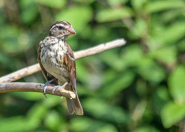 """<div class=""""jaDesc""""> <h4> Juvenile Female Rose-Breasted Grosbeak in Bright Sun - July 7, 2016</h4> <p>When she retreated to another perch and hunched down a bit, she looked less lanky and more like her mother.</p> </div>"""