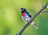 "<div class=""jaDesc""> <h4> 1st Year Male Rose-breasted Grosbeak - June 23, 2009 </h4> <p> While the adult Rose-breasted Grosbeaks have been around quite a bit, this 1st year male has been elusive.  Today, he made an early morning appearance in the shadows in our serviceberry tree.</p> </div>"