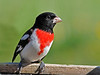 "<div class=""jaDesc""> <h4> Male Rose-breasted Grosbeak at Feeder - May 11, 2014 </h4> <p> The morning sunshine was really spotlighting his beautiful colors.</p> </div>"