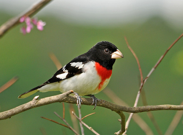 """<div class=""""jaDesc""""> <h4> Male Rose-breasted Grosbeak Inbound to Feeder - May 15, 2010 </h4> <p>We have 2 pair of Rose-breasted Grosbeaks in our yard this year.  The males spend much of the time fussing at each other over territory while the females peacefully co-exist at the feeders munching on sunflower seeds.</p> </div>"""